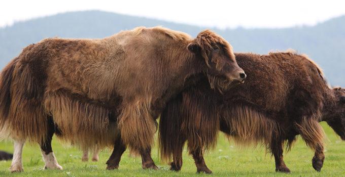 mongol-sarlag